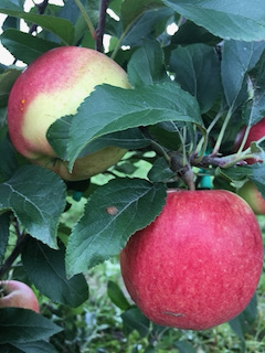 Two red apples on a leafy tree